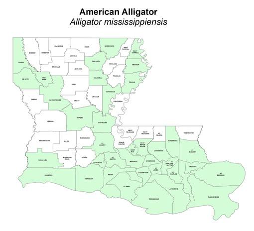 American Alligator   Alligator mississippiensis | Amphibians and