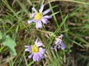 Aster paludosus (Southern Aster) 3