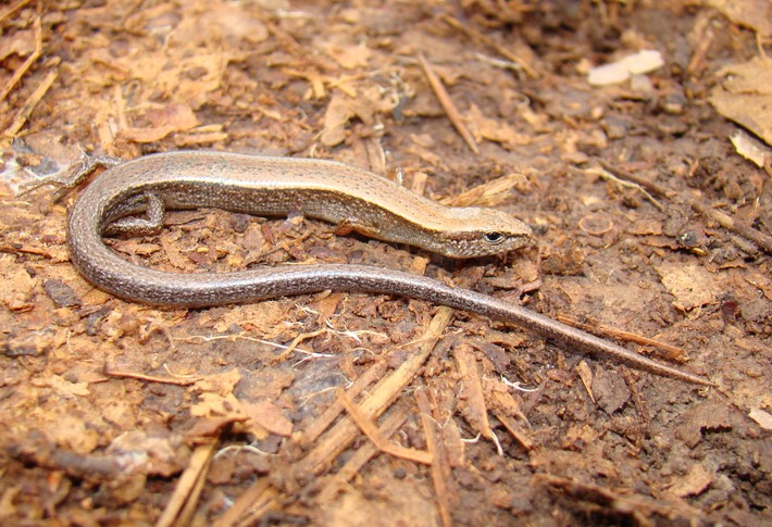 Little Brown Skink, Tunica Hills WMA | Amphibians and ...
