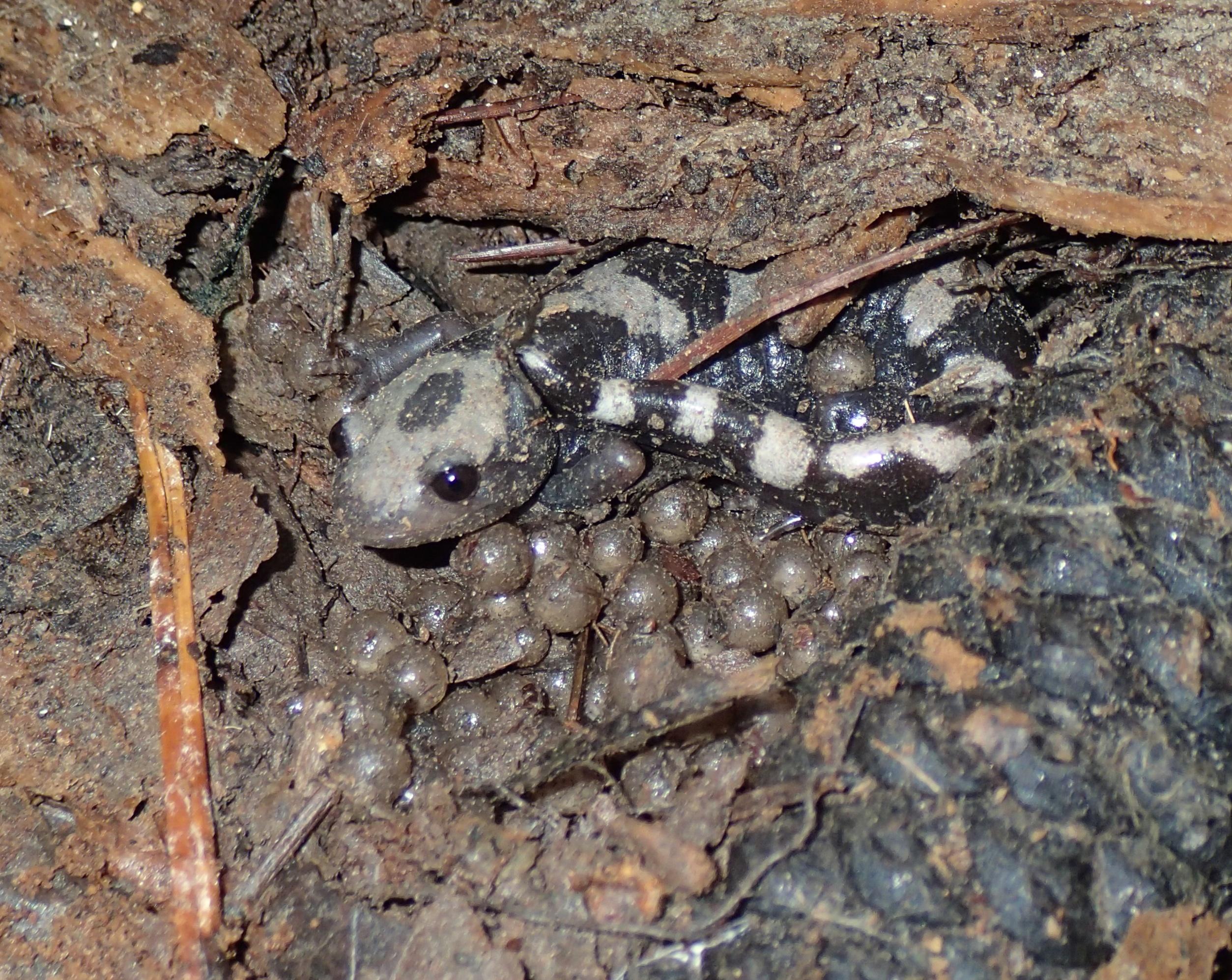 amphibians and reptiles of louisiana brad m glorioso