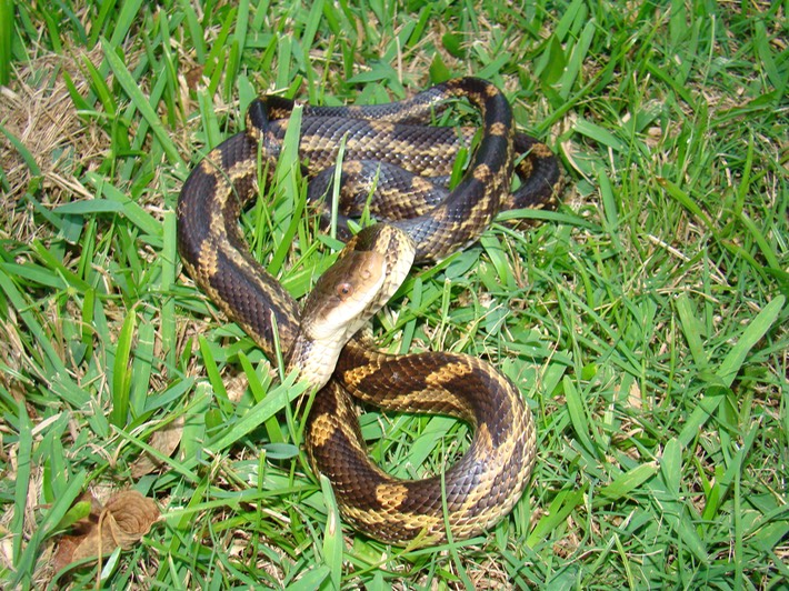 Western Ratsnake   Amphibians and Reptiles of Louisiana