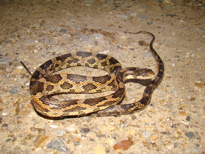 Western Ratsnake | Amphibians and Reptiles of Louisiana