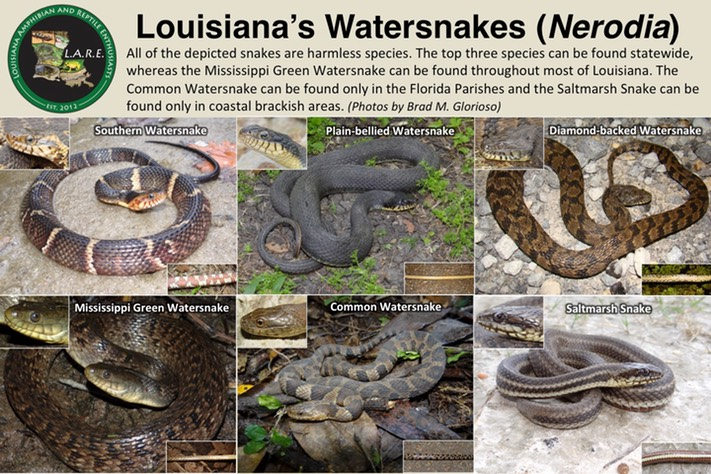 Watersnakes of Louisiana Revised